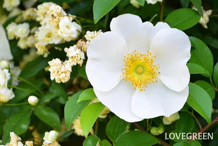 ナニワイバラは、中国原産のバラ科のつる性常緑低木で、原種のバラのひとつです。日本には江戸時代に難波の商人により持ち込まれたことが名前の由来です。現在では主に暖地に自生しています。ナニワイバラの果実は生薬として利用され、生薬名は金桜子(キンオウシ)です。  花は一季咲きで、純白の一重の5枚の花弁で黄色い目立つ雄しべの花が、枝一面に開花します。花の開花はバラの中では早咲きで、4月後半から開花が始まります。秋の実も美しく、見ごたえがあります。