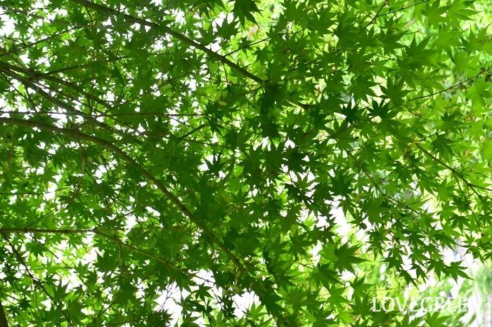 イロハモミジは夏の青葉と秋に真赤に紅葉する様子が美しい落葉樹です。春には誰にも気づかれないくらい小さな赤い花を咲かせます。和風のシンボルツリーとして人気があります。