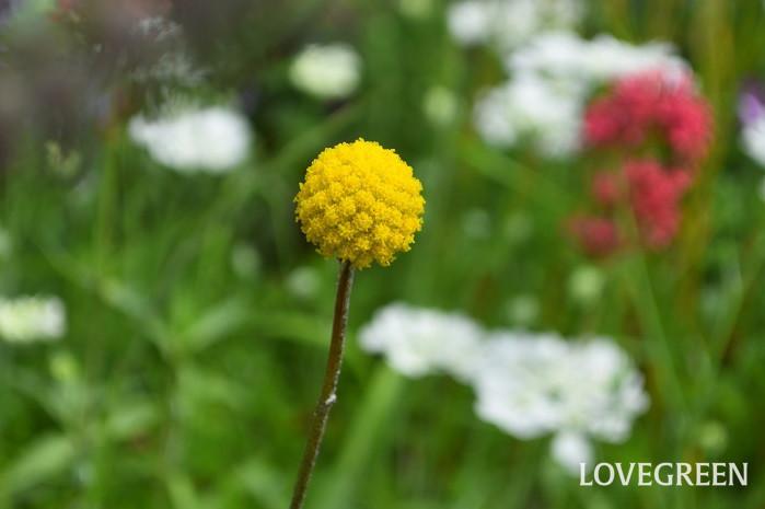 他の植物と混植すると、草花の隙間から長い茎が飛び出して開花しているような見た目で、庭の植栽のアクセントになります。環境に合えば9月頃まで開花しますが、高温多湿に弱いため、暖地では主に真夏前までの花期になります。