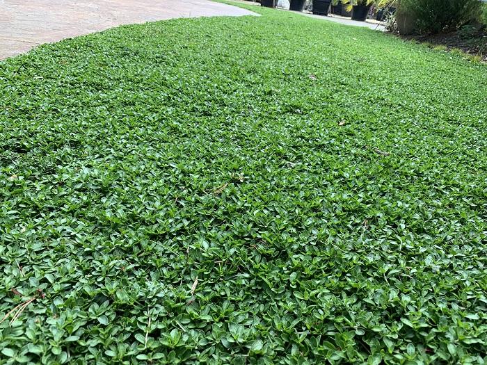 植えた年に全面被覆したら、年に1~2度程度(梅雨時期や夏)、芝刈り機などで刈込をしてください。刈る事でクラピアは分枝し、より密なマット状態を形成します。  クラピアは生長点がどこにでもあるので、芝のように刈る高さを気にする必要はありません。刈ると、夏の場合、2~4週間で再生します。