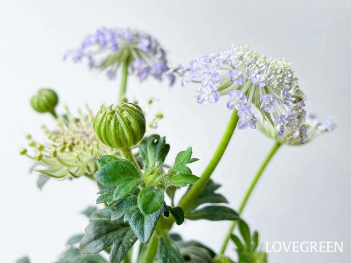 初夏のお庭やベランダを爽やかに彩ってくれますよ。また、切花としても流通しているので、育てて生けてみるのもいいですね。