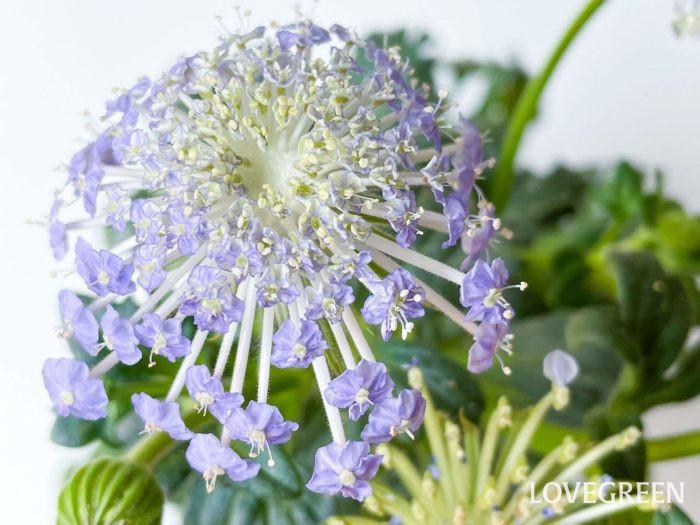 ブルーレースフラワーは小花の集合体が一つの大きな花となっています。小花ひとつひとつが大きめなのが特徴です。