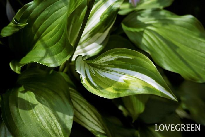 学名:Hosta 科名、属名:ユリ科ギボウシ属 分類:多年草 英名:Hosta(ホスタ) ギボウシの特徴 ギボウシは東アジアに分布する多年草で、日陰でもよく育つ観賞価値の高い植物です。葉は平たく多くが楕円形で、縦に筋が入ったように見える葉脈が特徴的です。  ギボウシはアジアの中でも特に日本に数多くの種類が自生しています。これらがヨーロッパに渡り、多くの改良品種が生まれました。ギボウシは日陰でもよく育つ上に葉色や草姿が美しいので、「ホスタ」と呼ばれ国内外に愛好家がいるほどです。  ギボウシには非常にたくさんの園芸品種があります。葉のサイズや色、斑入り、花色、花のサイズなどバリエーションが豊富でキリがありません。日陰の庭の中でオーナメンタルプランツとして存在感を発揮します。  擬宝珠とは?ギボウシの名前の由来 擬宝珠は「ギボシ」と読みます。寺院や橋などの欄干の飾りに使われるタマネギのような形をした装飾です。 ギボウシの名前の由来は、生長しかけの花茎の先端がこの擬宝珠に似ていたからだそうです。
