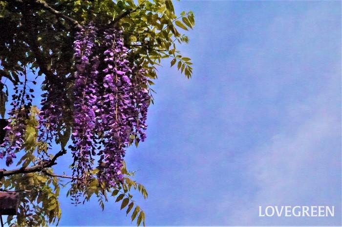 藤の花の英語の名前を紹介します。  英名:Wisteria(ウィステリア) 藤の英名は学名のWisteriaそのままでした。藤の花の美しさは海外でも人気です。日本では藤棚がポピュラーですが、ヨーロッパでは建物の壁につるを這わせて、壁全体を覆うように藤の花を咲かせている光景を見かけます。
