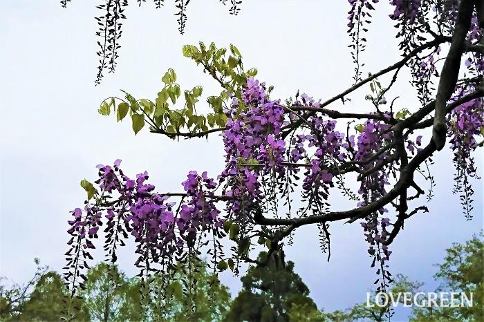 藤の花の咲く季節は春、4月中旬から5月上旬です。最近では気温の上昇と共に花の開花時期が年々早まっているため、はっきりと断定はしかねますが、関東では概ねゴールデンウィークの頃には散り始めています。  また、藤の花は風でも散りやすく、強風が数日続くようなことがあると、つぼみのまま散ってしまうこともあります。  風雨が数日続くような年は、早めに藤を見に行ったほうがよいでしょう。