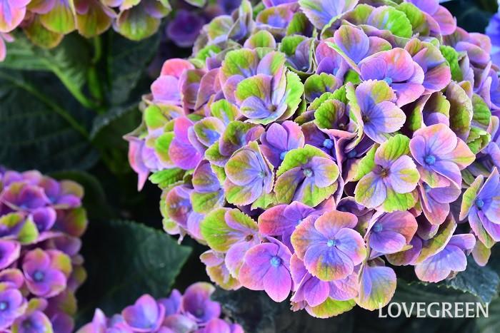 夏至の頃に咲く花 アジサイ