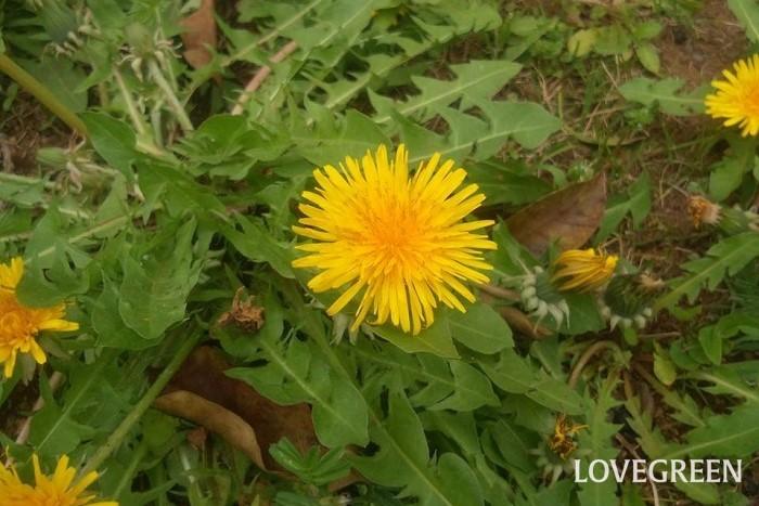 タンポポ 花期:3月~9月(四季咲き) 分類:多年草 増え方:種 タンポポは春に黄色の可愛らしい花を咲かせるキク科の多年草です。タンポポは根を深く地中に伸ばすので、すべてを掘り上げて根絶するのは至難の業です。