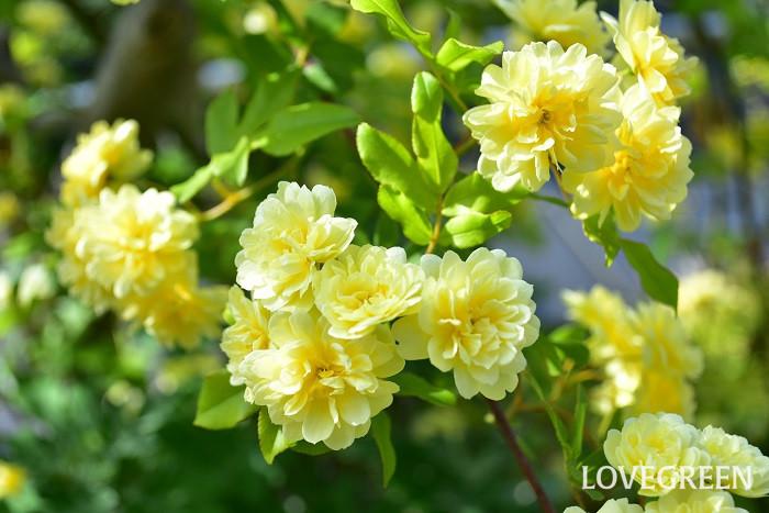 モッコウバラは原種のつるバラで開花は春の一季咲きです。トゲがないバラなので誘因がしやすいつるバラです。フェンス、アーチ、トレリスなどに這わせると見事です。強健で生育も旺盛で、10mくらいにまで生長します。