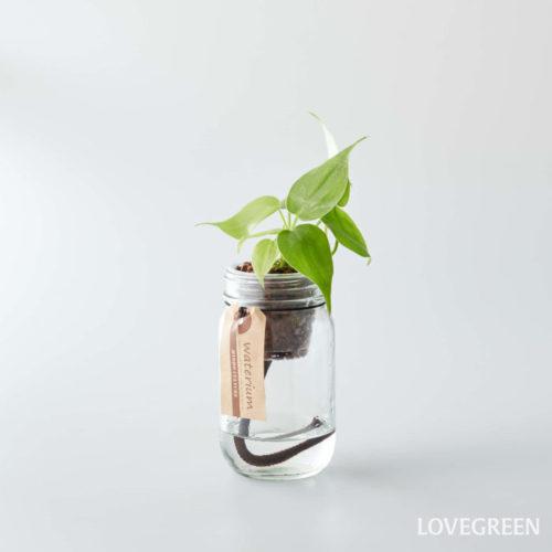 フィロデンドロンはサトイモ科に属しており、中南米に多く分布しています。耐陰性が強く、明るい室内ならば育てることができるため、フィロデンドロンは初心者の方にもおすすめの観葉植物です。