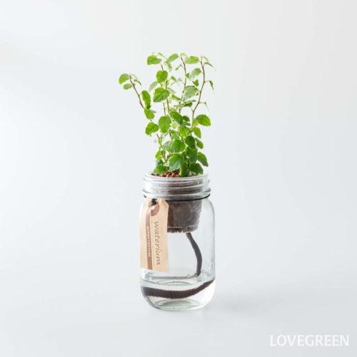 白い縁取りとちょっと縮れた葉の形が珍しいフィカス・プミラ。日当たりの少ない場所でも育つことができるので、お家の日当たりが心配な方にはぴったりです。