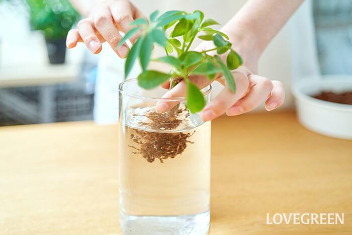 植物の根の周りをほぐし、余分な土をふるい落とします。根を傷めないように注意しましょう。水を入れたボールやお皿などを利用して根に残った土をやさしく洗い落とします。