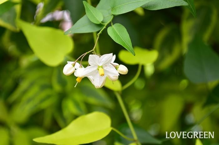 ツルハナナスは常緑のつる性植物です。6月~9月頃、星形の花が開花します。花は茎先に数輪ついている形状で、いっぺんには咲かず少しずつ開花していきます。フェンスなどに絡まりながらたくさんの茎を伸ばしながら生長します。低木なので数年すると株元は木化していきます。大株になると株一面に無数の花が開花し見事です。