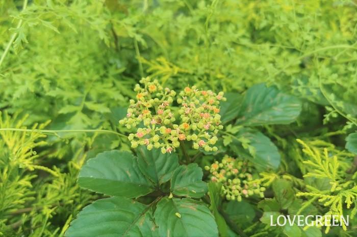 ヤブガラシ 花期:5月~7月 分類:多年草 増え方:種 ヤブガラシはブドウ科の多年草です。名前の由来は藪を枯らしてしまうほど強いからという恐ろしい理由ですが、なかなかに可愛らしい花を咲かせます。