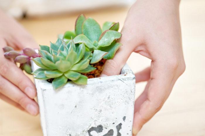 多肉植物専用「ベラボン・サキュレント」の使い方:寄せ植えの場合