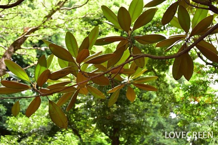 タイサンボクの葉は、表はつやのある深い緑、裏はブラウンのリバーシブルです。大きくて独特な雰囲気の葉は、枝ものとして流通しています。花屋さんで売っている時の名前は「マグノリアリーフ」という名前がついていることが多いようですが、それはこのタイサンボクのことです。大きくて迫力のある形の葉は、メンズライクなフラワーアレンジや花束などの葉ものとして人気があります。タイサンボクの葉で作るリースも素敵です。