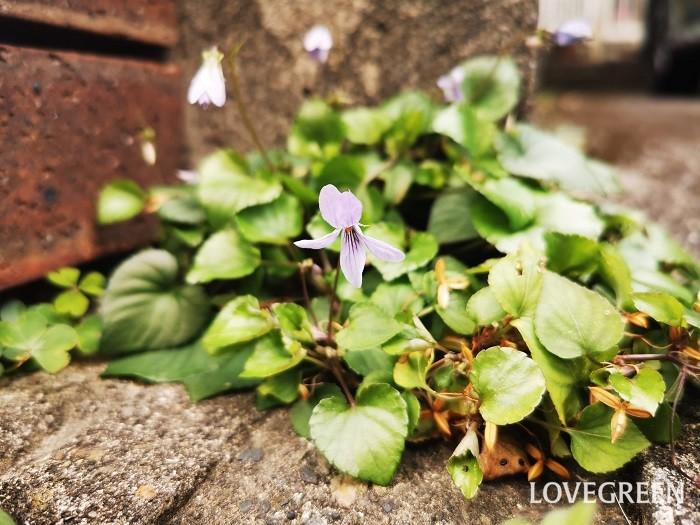 花期:3月~4月 分類:多年草 増え方:種 スミレは春の訪れを知らせてくれる可憐な草花です。紫や薄紫の花を咲かせます。スミレは多年草ですが寿命は短く、主に種子で増えます。