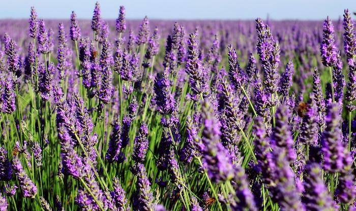 ラベンダーはシソ科の多年草のハーブで花期は5月~7月。古くからラベンダーの花は、薬草として、また、香りを楽しむなど人々の暮らしの中で利用されてきました。「万能の精油」、「ハーブの女王」とも呼ばれ、アロマテラピーでは最も利用される精油のひとつです。