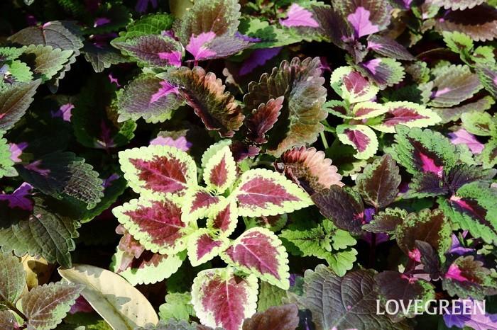 コリウスは寄せ植えで使うときにメインの花を引き立たせる名脇役にもなれますが、コリウスの葉色はとても鮮やかで花に負けない華やかさがあるので、実は十分メインにもなります。コリウスの色違い、葉の大きさや草姿の違いを上手く使ってコリウスだけで寄せ植えやハンギングバスケットを作ってもきれいですね。カラーリーフを集めた寄せ植えに使っても、コリウスの葉の美しさはとてもインパクトがあります。真夏になると元気がなくなる花も多いので、そんなときは暑い夏も美しい葉が楽しめるコリウスをメインにして寄せ植えを作ると、その場が華やかで涼し気な雰囲気になるのでおすすめです。