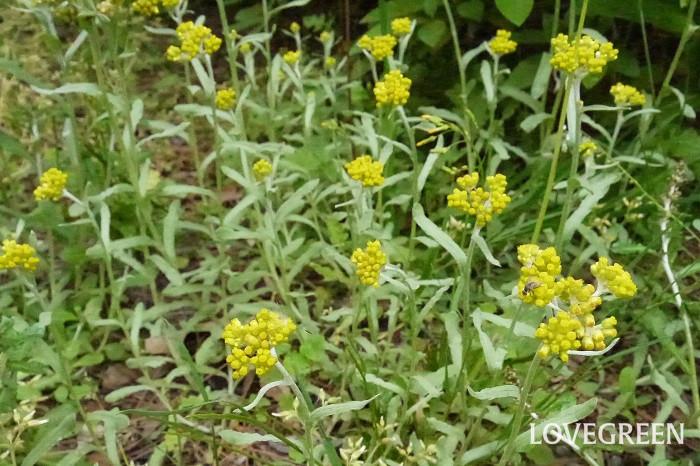 花期:3月~4月 分類:一年草 増え方:種 ハハコグサは黄色の小さな花が可愛らしい一年草です。春の七草のゴギョウとはハハコグサのことです。