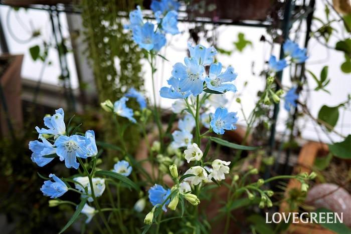 場所・用土 日当たり、水はけ共に良い場所に植え付けます。鉢植えのデルフィニウムは、市販の園芸用培養土で問題なく育てられます。  草丈大きく生長する種類は花壇の後方に植え付けるようにすると、きれいな景色が作れます。  水やり 表土が乾いたらたっぷりと水やりします。  肥料 日本ではほぼ一年草なので植え付け時に元肥を与えれば、その後は特に必要ありません。  病害虫と対処法 特に目立った病害虫の被害はありません。春から梅雨時期にナメクジの食害にあうことがあります。見つけ次第駆除してください。  切り戻し デルフィニウムは最初の花が終わったら、株元まで切り戻すともう一度花を楽しめます。