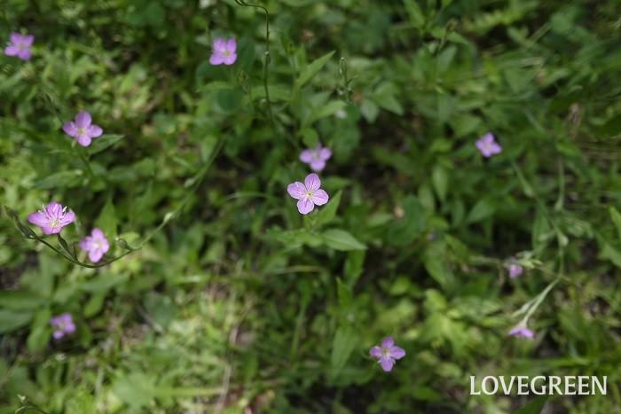 ユウゲショウ 花期:4月~7月 分類:多年草 増え方:種 ユウゲショウはアカバナ科の多年草です。夕方に咲くことが名前の由来とされていますが、日中から咲いているのを見かけます。