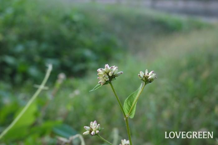 ミゾソバ 花期:9月~11月 分類:一年草 増え方:種 ミゾソバはタデ科の一年草です。ソバの花に似た可愛らしい花を咲かせます。