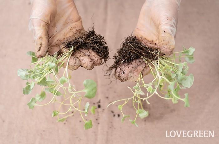 ディコンドラを寄せ植えに使うときは、このように株分けして数か所にちりばめて植えることができます。株分けの最適期は春ですが、春から秋の生育期であれば、さっと株分けしてしばらく明るい日陰で養生すれば問題なく育ちます。