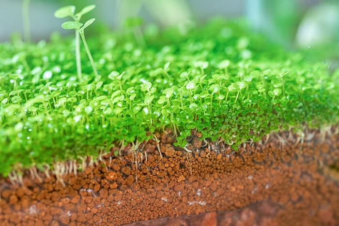 初めての水草だったので、うまく育てられるか不安だったのですが、とても簡単でした。皆さんも育ててみませんか?