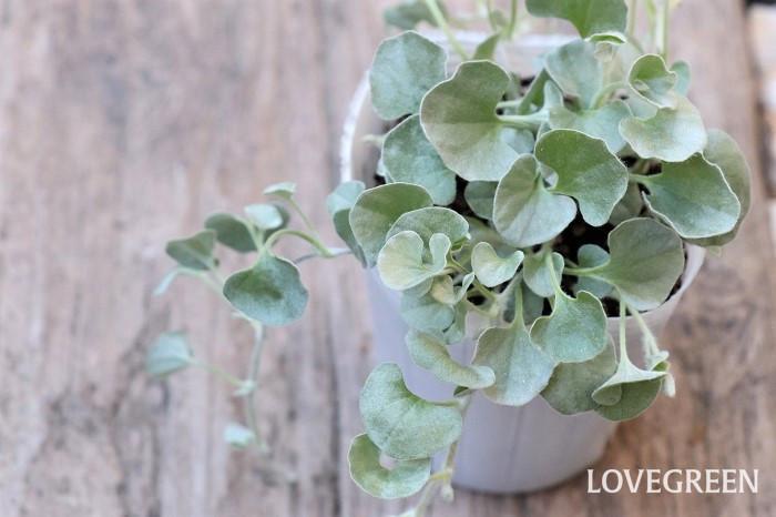 ディコンドラ・シルバーフォールは銀白色のハート型をした葉をしていて、這うように伸びて生長するカラーリーフ。葉色がグリーンのディコンドラもありますが、寄せ植えにはシルバー色のディコンドラがおすすめです。緑葉とシルバー色の葉では、好む環境も異なります。  ディコンドラ・シルバーフォールは乾燥した日が当たる場所を好みます。若干蒸れに弱く葉が傷みやすい性質がありますが、乾かし気味に育てるとよく育ちます。環境が合えばどんどん増える育てやすい植物です。耐寒性はそれほど高くないので、寒さでいったん生長の勢いがなくなり葉が枯れたりしますが、根は生きていて春に再び芽吹きます。