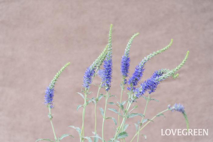 ベロニカは4月~11月頃、青や紫、白、ピンクなどの花を咲かせます。縦にすっきり伸びた花穂とシンプルで小ぶりな花が印象的で、寄せ植えに縦方向のアクセントを加える花として重宝します。暑さ寒さに強く、本来日当たりを好みますが環境によく適応するため半日陰でも育ちます。  ベロニカは品種が多いため春咲き、秋咲きの区別だけでなく一年草、多年草、落葉性、常緑性と様々なバリエーションがあります。