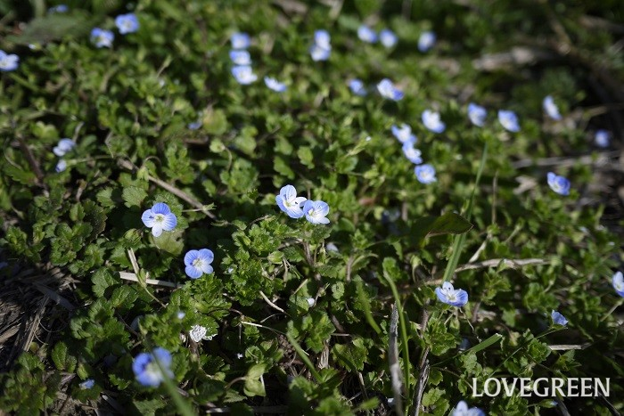 花期:3月~4月 分類:一年草 増え方:種 オオイヌノフグリは春に小さな水色の花を咲かせる一年草です。群生している姿が可愛らしい草花です。