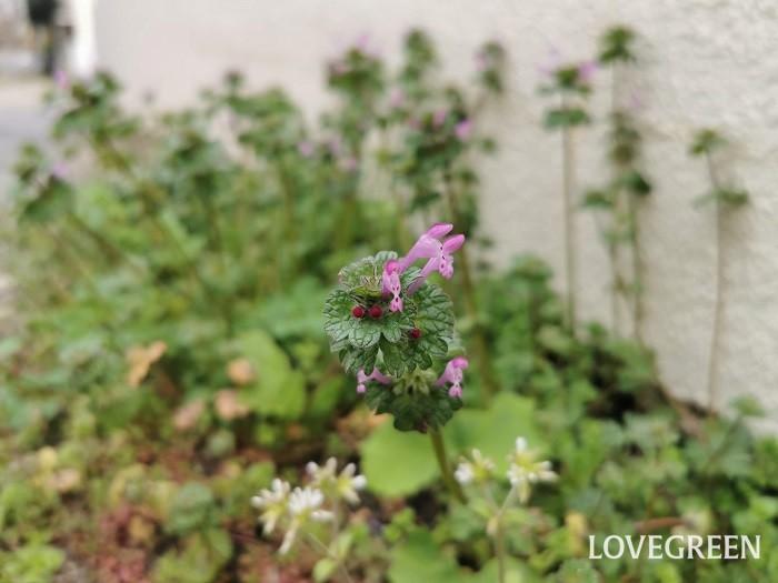 ホトケノザ 花期:3月~9月(四季咲き) 分類:一年草 増え方:種 ホトケノザは春にピンク色の花を咲かせるシソ科の一年草です。実は春の七草のホトケノザは別種の植物のことで、シソ科のホトケノザは食べられません。