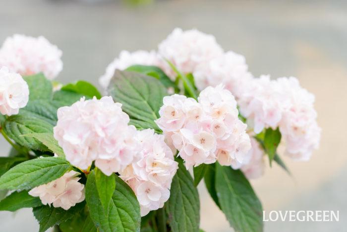 ヤマアジサイは、日本の各地で古くから自生している野生種の紫陽花。小さめの花と小ぶりな葉、細い茎が繊細な印象を与え、楚々とした雰囲気が魅力的です。日本の環境によく合い、日当たりの良い場所から半日陰まで育てやすい植物です。仕立て方によっては鉢植えで小さく育てる事もできます。