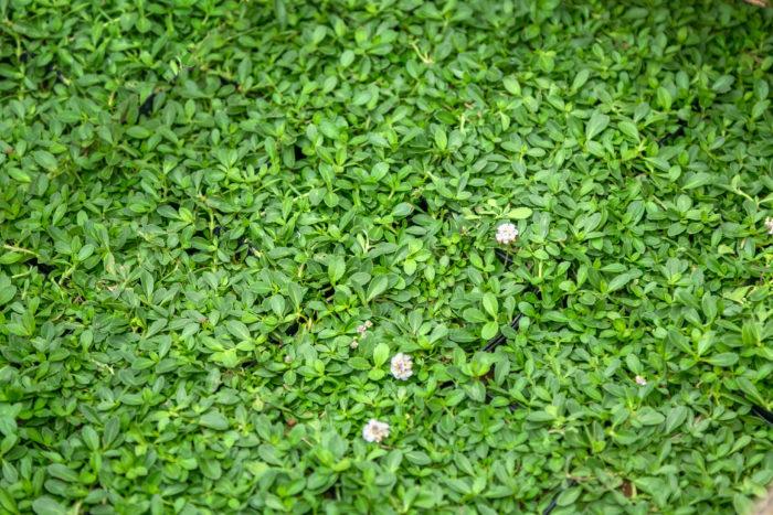 植えて約2ヵ月でグリーンカーペットのように広がる「クラピア」