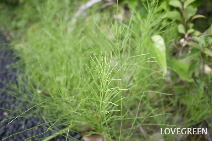 スギナ 花期:(つくし)3月~4月 分類:多年草 増え方:地下茎 スギナはスギナ科の多年草です。春に姿を現すつくしはこのスギナの胞子茎です。スギナは地下茎で増えるので、気がつくと群生しています。駆除をするなら地下茎ごと除去しましょう。