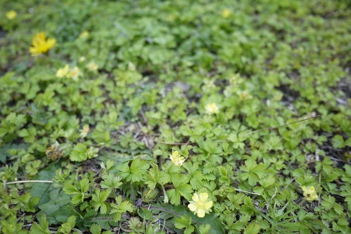 雑草の増え方には大きく分けて2種類あります。  種で増える雑草 種で増える雑草とは、花を咲かせて結実し、種子を残して枯れていく雑草です。その場で種をこぼし、翌年発芽したものが群生するように増えていく種類もあります。  タンポポのように風を使って遠くに種子を運び、自らを増やそうとする雑草の種類もあります。またはスミレのように種子を昆虫に運ばせて増えていく種類もあります。  地下茎で増える雑草 地下茎で増える雑草は広範囲にわたって群生しています。これらの多くは多年草です。地下茎を伸ばし、伸ばした先から芽吹いていくので、地表を覆うように増えていきます。  ドクダミやスギナ、クローバーなどが地下茎で増える雑草です。