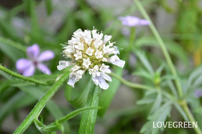 スカビオサはとても品種が多い草花で、花の色や大きさが品種によって様々です。スカビオサ・ドラムスティックの花は、淡いラベンダー色の小輪で、遠くから見ると白に見えるような淡い色の楚々とした雰囲気の花です。