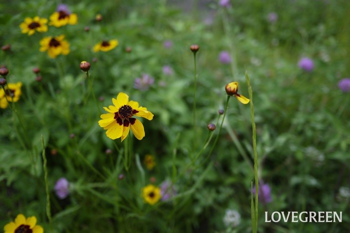 ハルシャギク 花期:6月~7月 分類:一年草 増え方:種 ハルシャギクはキク科の一年草です。黄色のコスモスといった風情の花を咲かせます。草丈は1m程度まで生長します。