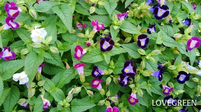 トレニアの開花期は4月~10月頃。可愛い子つばめが口を開けたような、スミレにも似た小花が次々咲きます。花色は、桃・青紫・白・黄色など。  トレニアは、こんもりまとまる「立性」と、ふんわり広がる「ほふく性」があり、ほふく性のトレニアは壁にかけるなど目線の高い位置に飾ると美しさが引き立ちます。  トレニアのほとんどが一年草ですが、多年草タイプにはトレニア・コンカラーがあります。多年草でも寒さに弱い性質は同じなので、冬越しさせるためには寒くなる前に室内に取り込みましょう。