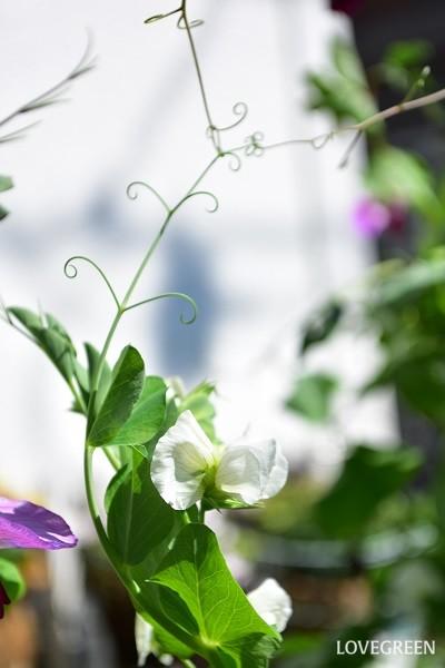 葉っぱが変化した「巻ひげ」で絡みついて生長する。誘因しなくても勝手に生長していくが、手をかけた方が美しく見える。例・スイートピー