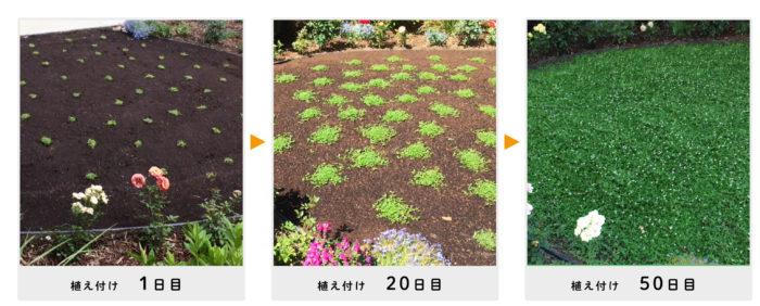 植えてから約50日でグリーンカーペットができあがるクラピア