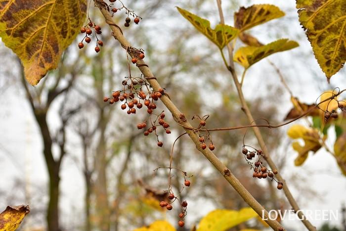 ヘクソカズラは日本の山野に自生するつる性の多年草。雑草の分類の中に入れられてしまうこともありますが、最近は光沢のあるかわいい実が切り花として流通するようになりました。野草なのでとても強く、フェンスや木などにらせん状に絡まりながら登っていきます。