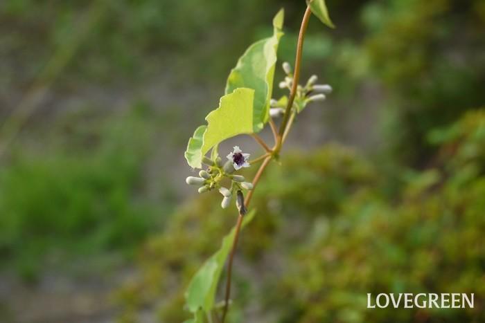 ヘクソカズラ 観賞期:9月~11月 分類:多年草 増え方:種 ヘクソカズラはアカネ科の多年草です。ヘクソカズラという名前は、全草に独特の匂いがあることに由来しています。ヘクソカズラの実は金色で、ドライフラワーにすると美しく観賞価値があります。