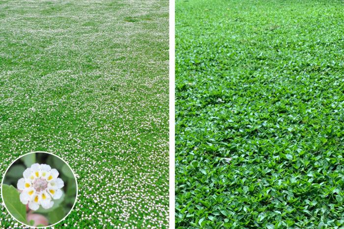 「可愛い小花のフラワーカーペット」と「グリーンカーペット」季節によって楽しめるクラピアの景観
