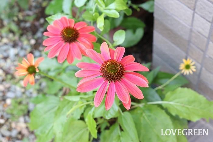 エキナセアは、6月~10月頃に赤、ピンク、オレンジ、グリーン、黄、白、複色などの花を咲かせます。エキナセアはとても丈夫で手入れが簡単。カラフルな色合いの花が初夏から秋まで長く咲き続けます。  エキナセアは、ハーブとして用いると免疫力を高める効能があると言われますが、よく出回っているエキナセアは観賞用として作られたものが多く、ハーブとしての薬効はありません。エキナセアを飲食用に使う場合は、ハーブとして使える苗かどうか確認して購入することをおすすめします。