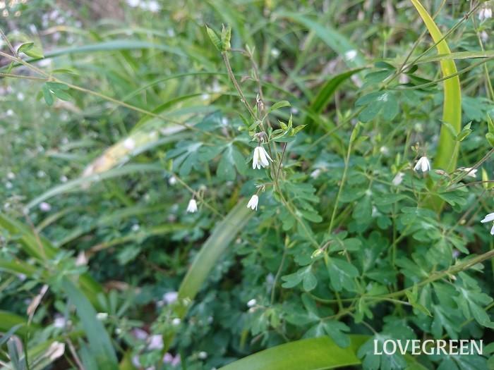 ヒメウズ 花期:3月~4月 分類:多年草 増え方:種 ヒメウズはキンポウゲ科の多年草です。オダマキに似た白い花を俯くように咲かせます。ヒメウズの花は直径5mm、草丈5~10cm程度ととても小さな草花です。