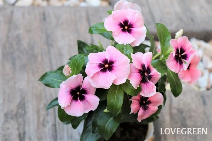 ピンク色のニチニチソウも、中心部がダーク色だと甘さがおさえられ、シックでオシャレな雰囲気になります。  ニチニチソウは湿気を嫌うので、土の表面をよく見て乾いたらたっぷりと水やりするようにしましょう。また、ニチニチソウの花は、咲き終わるとぽろっと自然に取れます。そのままにしておくと花がらが葉にくっついて病気の原因になるため、落ちた花がらは取り除きましょう。花後に種ができてきたら、新しい花に栄養がいくように種はカットします。