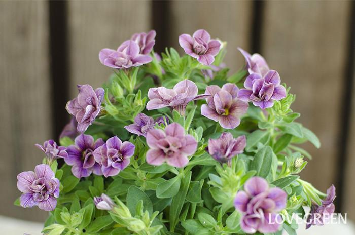 6月日の誕生花 カリブラコア Lovegreen ラブグリーン