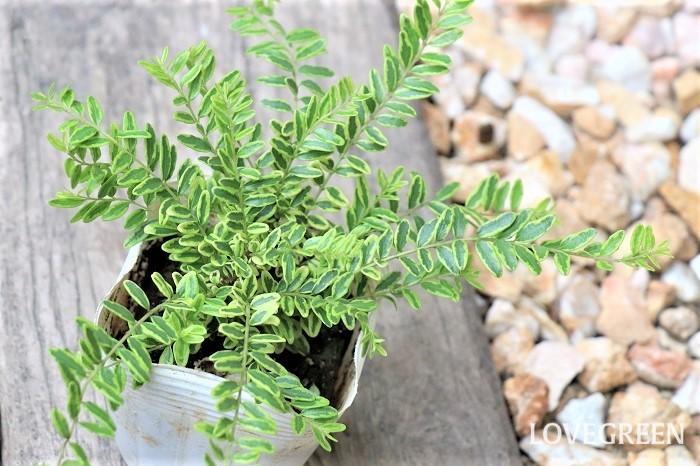 ロニセラ・レモンビューティーは、レモン色の小さな斑入りの葉が美しい低木。丈夫で一年中いつ剪定しても弱らないので、好みのサイズにキープできます。寄せ植えでは、明るい雰囲気をつくるカラーリーフとして使いやすく人気があります。