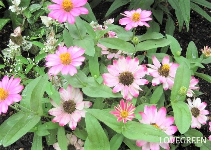 うっかり水やりを忘れてジニアをぐったりさせてしまった時は、日陰に移動させて水をたっぷりあげて休ませ、回復したら日なたに戻しましょう。  写真のジニアのように花の中心部が茶色っぽくなって、さらに花びらの色がワントーン褪せたようになってきたら摘み取るタイミングです。花のすぐ下の葉の上で切ると脇芽が出ないので、2節下の葉の上で切ります。